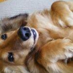 犬が仰向けで寝る理由は?犬種によっては注意が必要!?