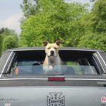 犬を車に乗せると吐く!車酔いを治すことはできるの?