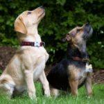 賢い犬種をランキングと写真で紹介!一番お利口な犬は?