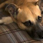 犬が夫婦にやきもちをやいて吠える!どう対処するべき?