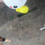 【めざましテレビ】ヘディング犬が超かわいい!風船で遊ぶ犬の動画10選